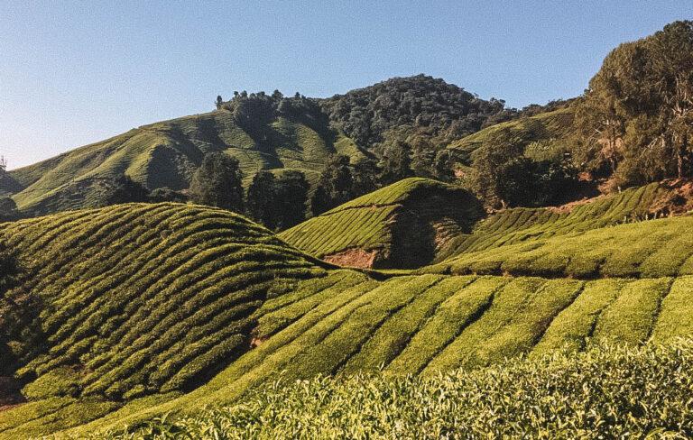 Malaysia Sehenswuerdigkeiten Cameron Highlands
