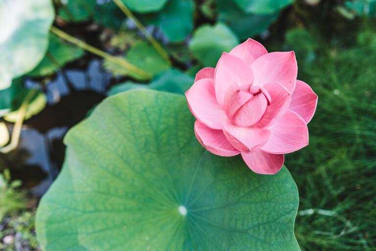 Botanischer Garten Indischer Lotus Bluete