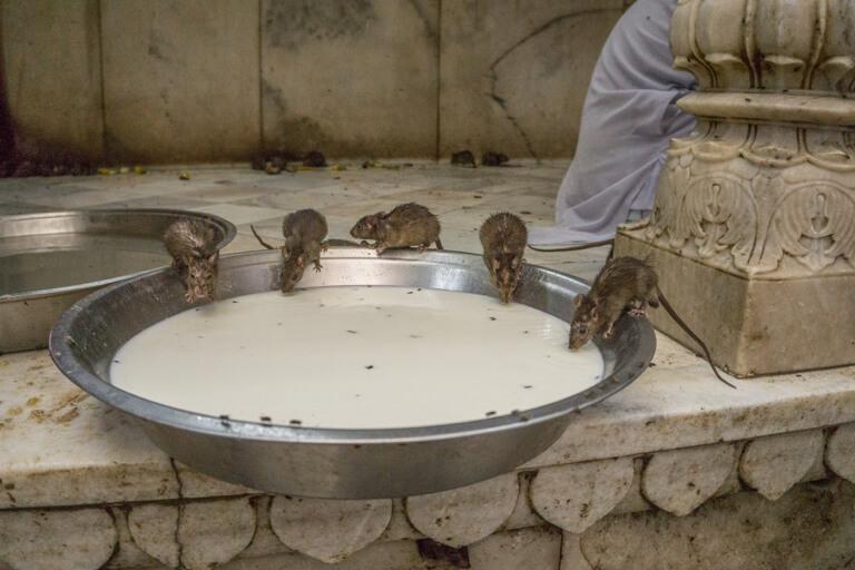 Indien Sehenswuerdigkeiten Rattentempel Karni Mata Bikaner