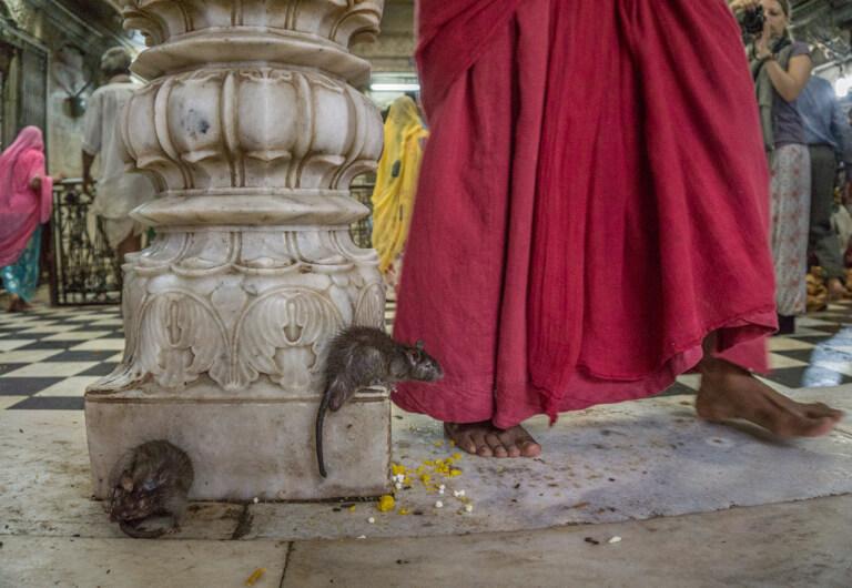 Rajasthan Rattentempel Karni Mata Bikaner