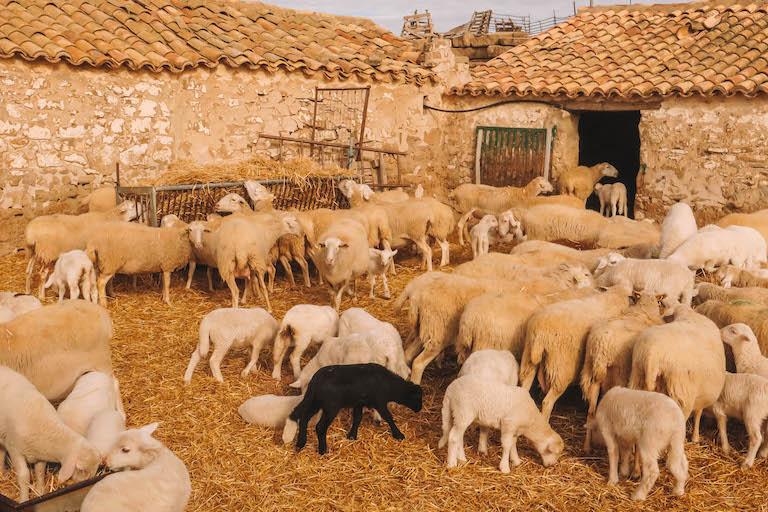 Schafe Bardenas Reales