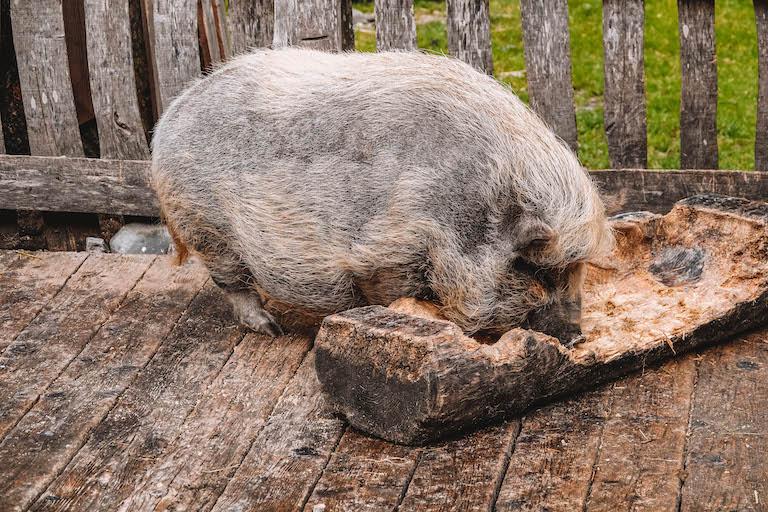 Gramaialm Schwein