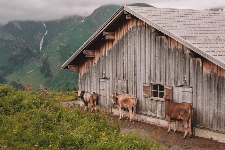 Kuehe Vorarlberg