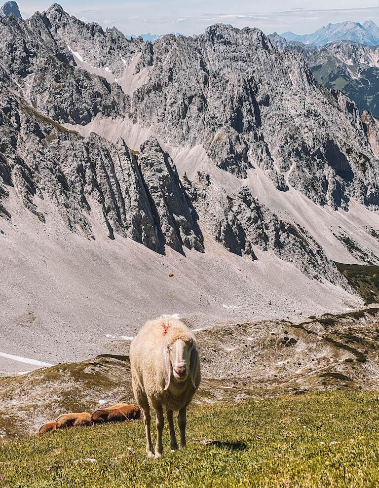 Schaf Karwendel