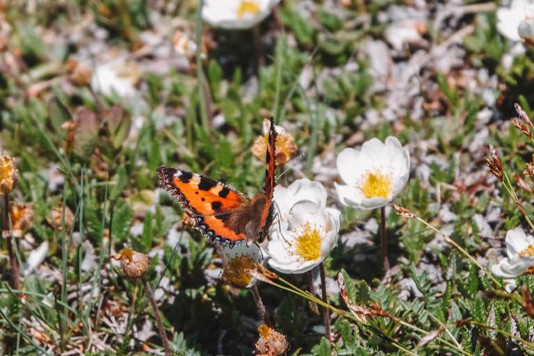 Schmetterling Nordkette