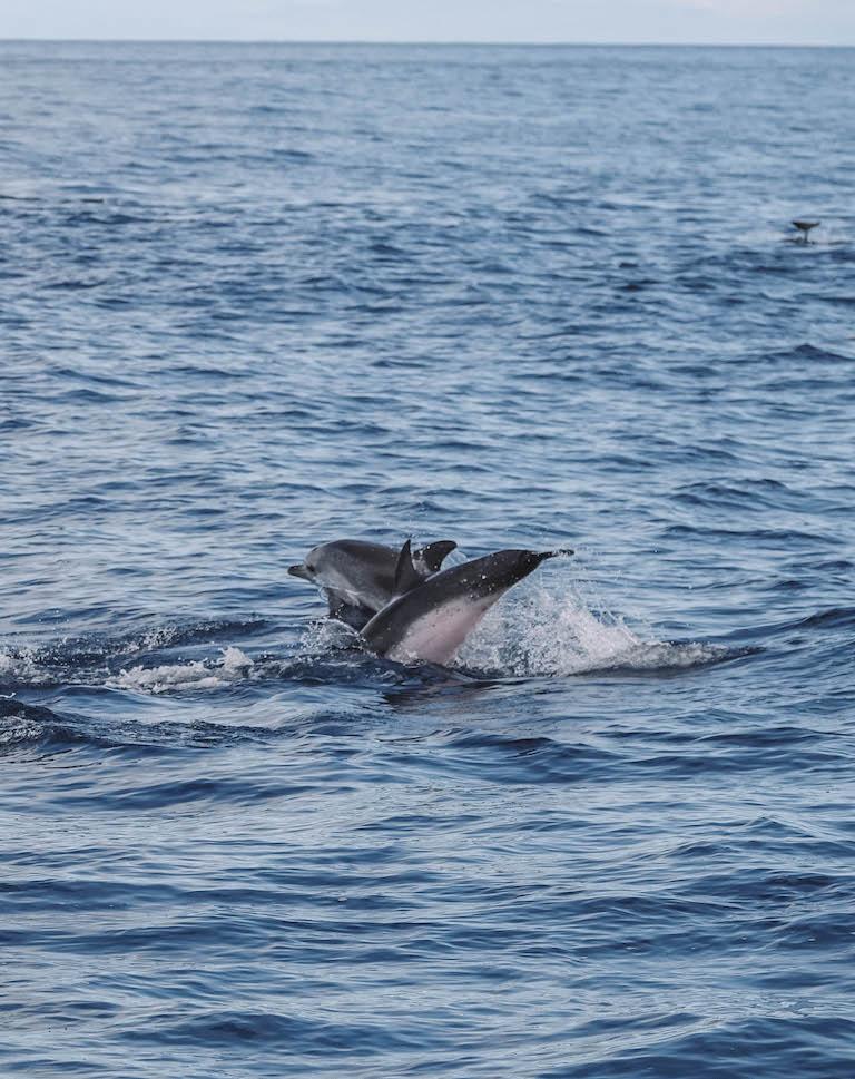 Faial Delfine Azoren