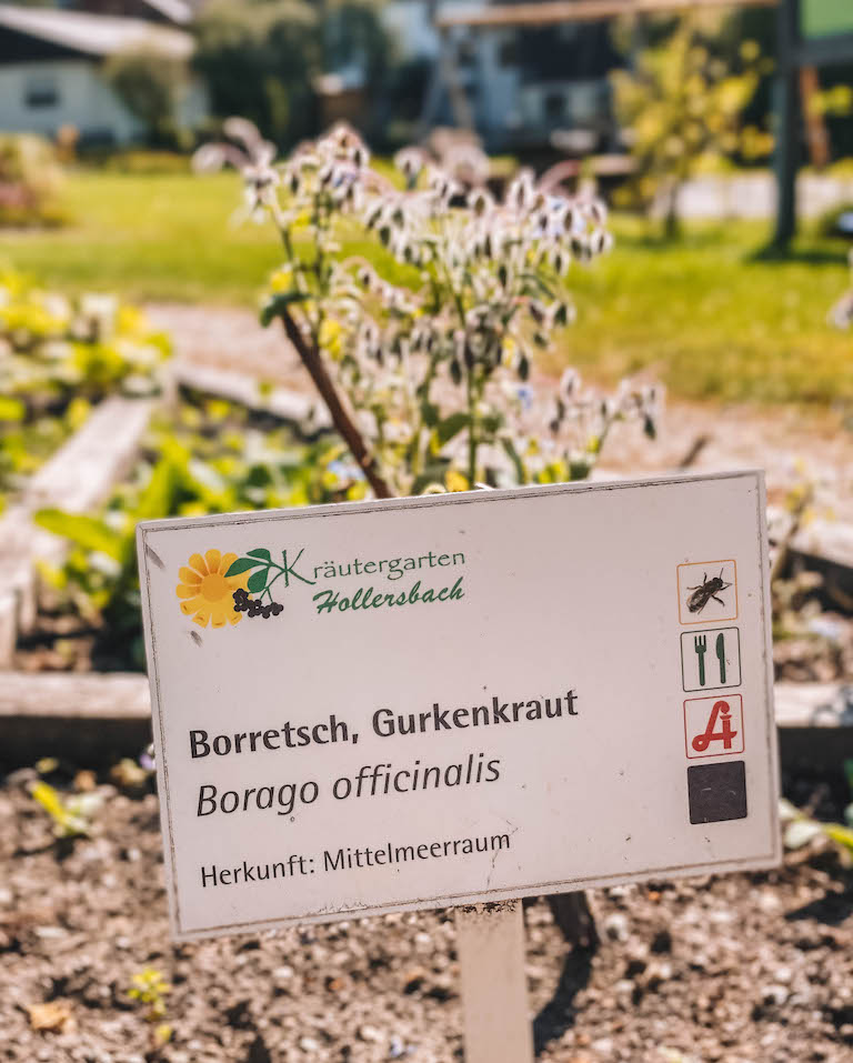 Hollerbacher Kraeutergarten Borretsch